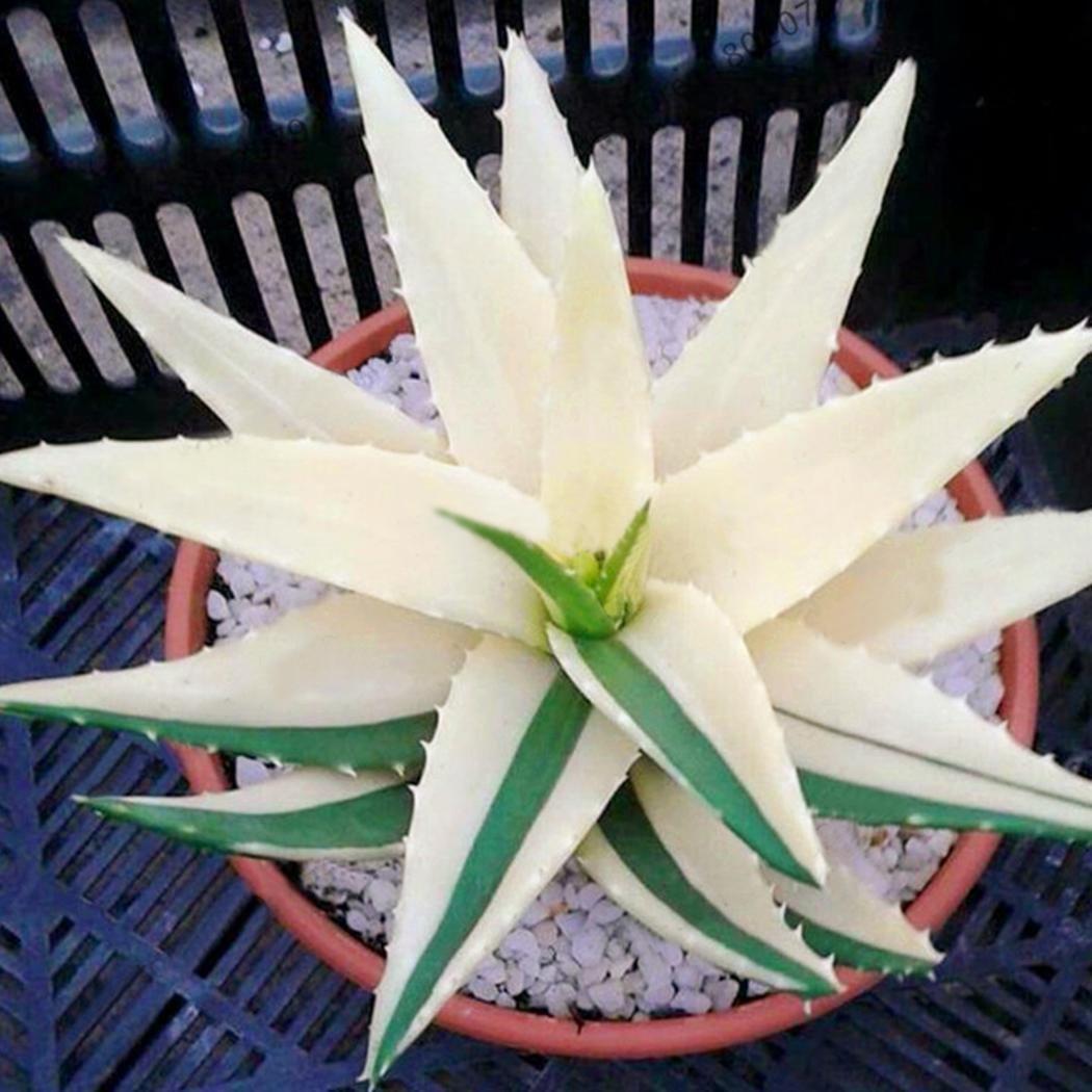 Kisshes Seeds- Semillas de Aloe Vera Semillas de Hierbas Raras ...