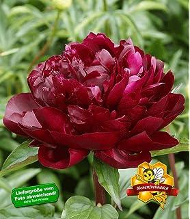BALDUR-Garten Rosen-Stämmchen \'Alabaster\', 1 Rosenstamm: Amazon.de ...