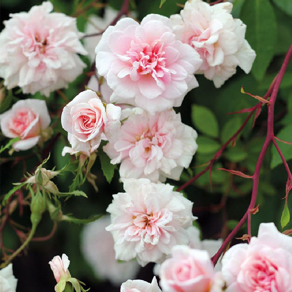 1 Potted Own Root of Cecile Brunner Climbing Rose - Pink Fragrant Rose Plant