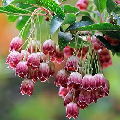 Toyensnow - Enkianthus campanulatus REDVEIN ENKIANTHUS Shrub (5 Seeds) : Garden & Outdoor