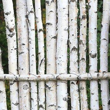 15 Sweet Birch Seeds DELIGHTFUL SHADE TREE