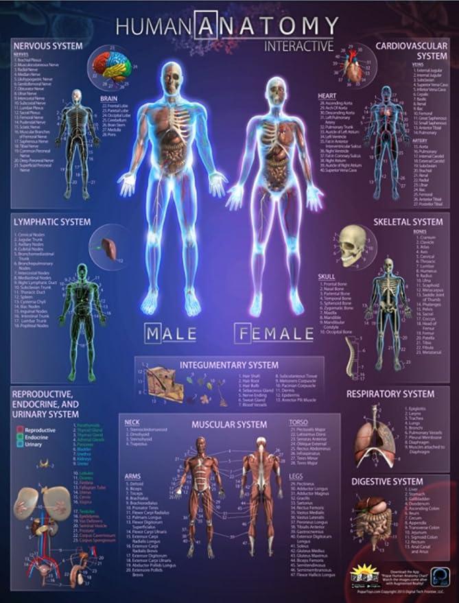 Amazon Popar Human Anatomy Interactive Wall Chart Toys Games
