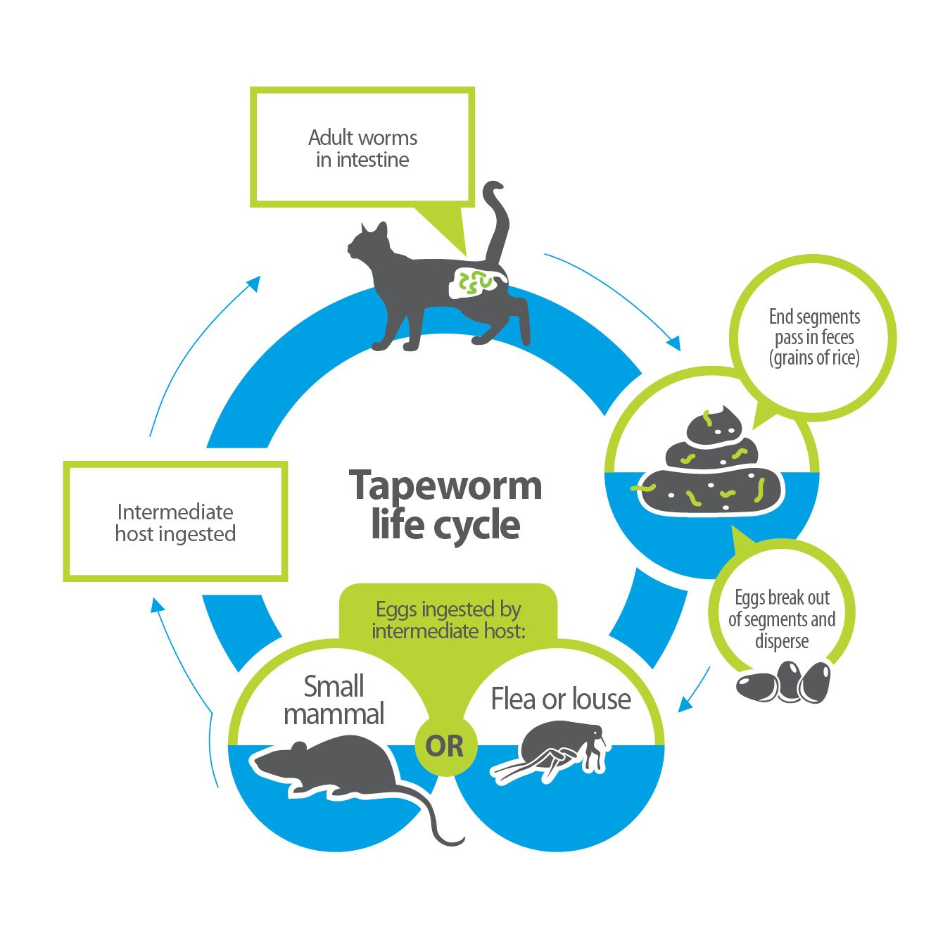 Amazon bayer tapeworm dewormer for cats 6 weeks and older amazon bayer tapeworm dewormer for cats 6 weeks and older pet supplies pooptronica