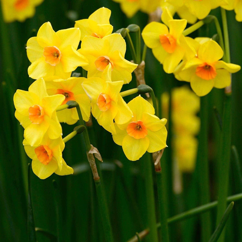 Bulbi Fiori Gialli.Bulbi 100 Pezzi Narciso Martinette Fiori Gialli Perenni Da