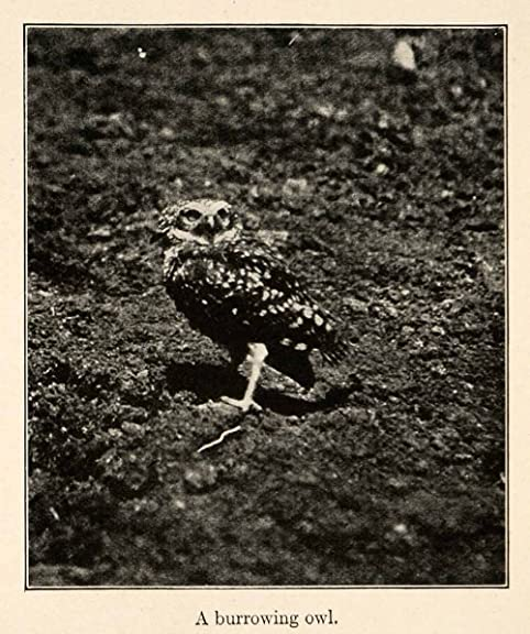 1919 Halftone Print Burrowing Owl South America Andes Mountains Argentina Brazil - Original Halftone Print