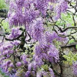 Van Zyverden Wisteria -  Purple - Set of 1 Root Stock