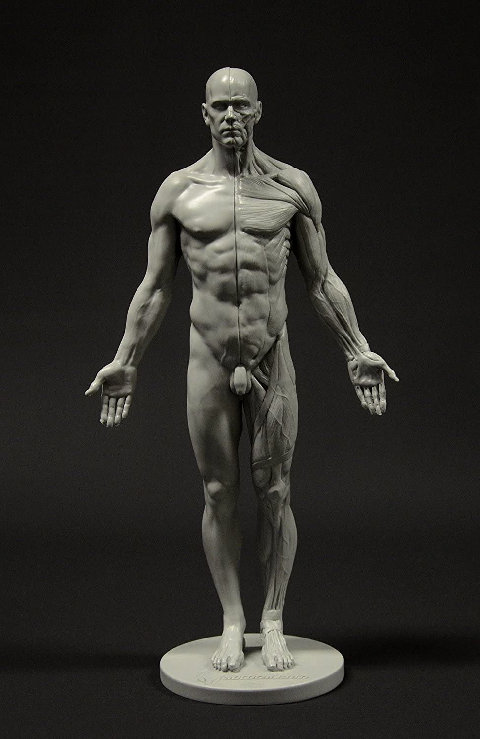 Amazon Com Male Anatomy Figure 11 Inch Anatomical Reference For Artists Grey Home Kitchen