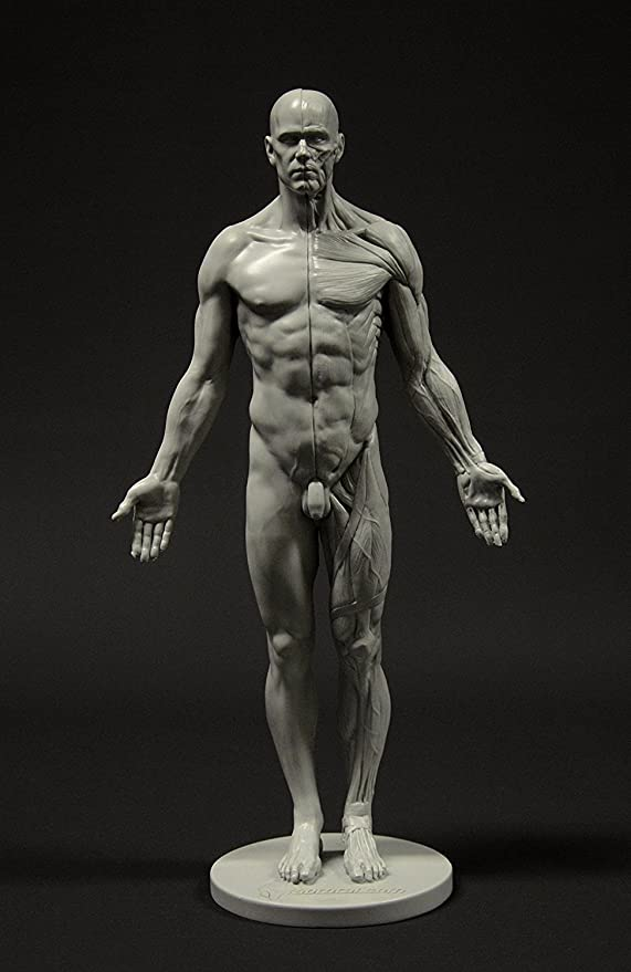 Male Anatomy Figure 11,inch Anatomical Reference for Artists (Grey)