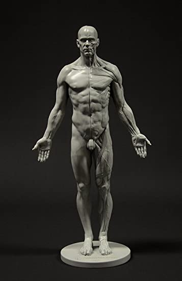 Male anatomy images