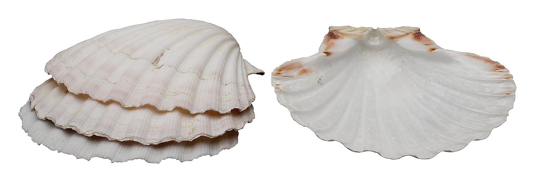 HIC Natural Baking Shells, 3.25-Inches, Set of 6 HIC Harold Import Co. 45679