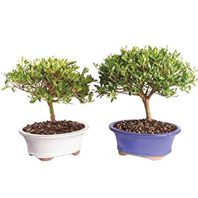 "Brussel's Live Gardenia Outdoor Bonsai Tree (2 Pack) - 8 Years Old; 8"" to 12"" Tall with Decorative Container: Garden & Outdoor"