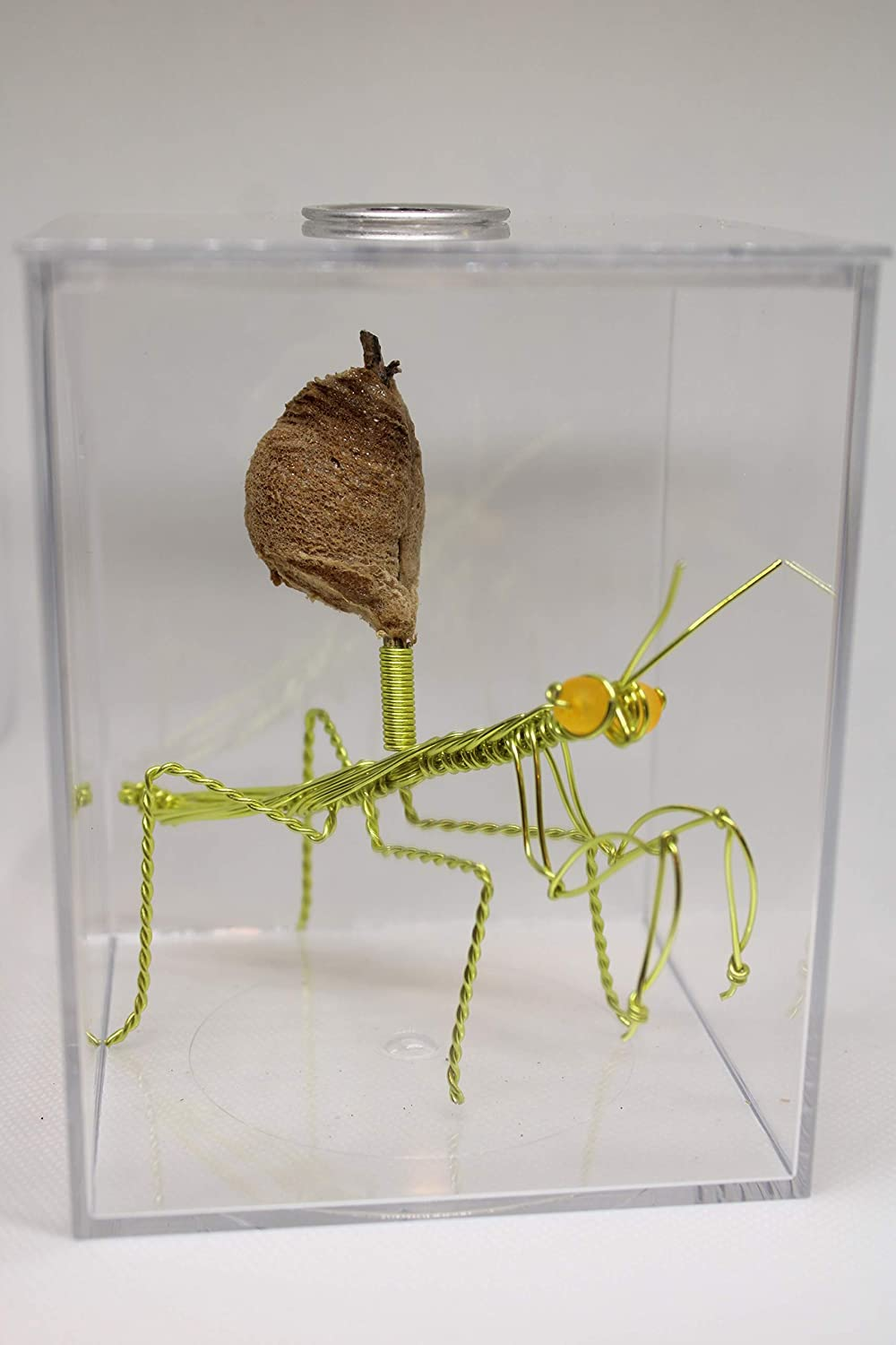 Live Chinese Ootheca Praying Mantis Egg Case + Crystal Clear Hatching Habitat Incubator Kit (Neo Green Wire Mantis)