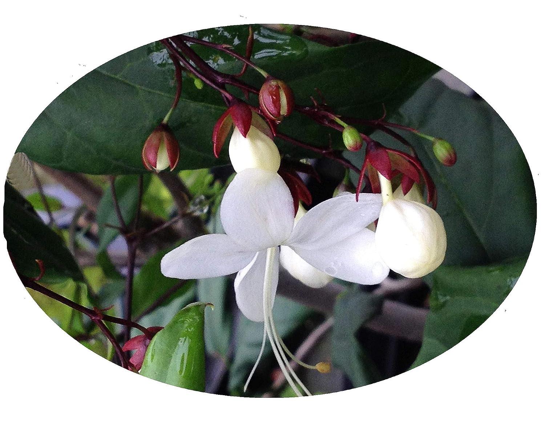 Amazon Light Bulbs Tropical Live Plant Chains Of Glory Unusual