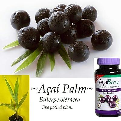 "ACAI Palm""Euterpe Oleracea"" - para Dwarf - 2-4 Leaves Potd Starter Sml 12+in Plant : Garden & Outdoor"