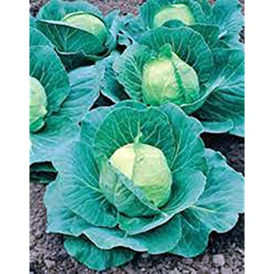 Cabbage Seed, Golden Acre, Heirloom, Organic, Non Gmo, 25+ Seeds, Tasty Healthy Veggie : Garden & Outdoor