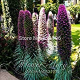 100 RARE GIANT ECHIUM SEEDS! MIXED BOLD COLORS! Free Shipping.