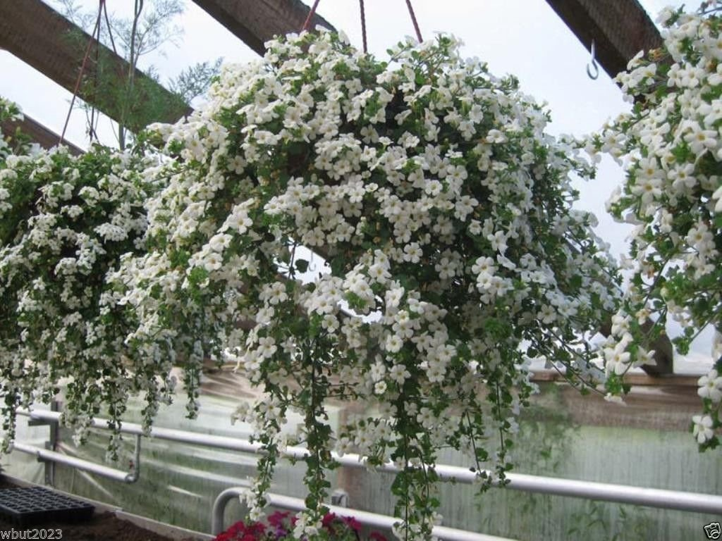 Amazon 10 White Bacopa Seeds Perfect Flowers For Hanging