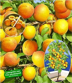 Baldur Garten Aprikosen Compacta Super Compact Aprikosenbaum 1
