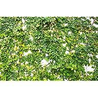 ScoutSeed Ficus Pumila 10 semillas, higo rastrero, higo trepador - cubre todo