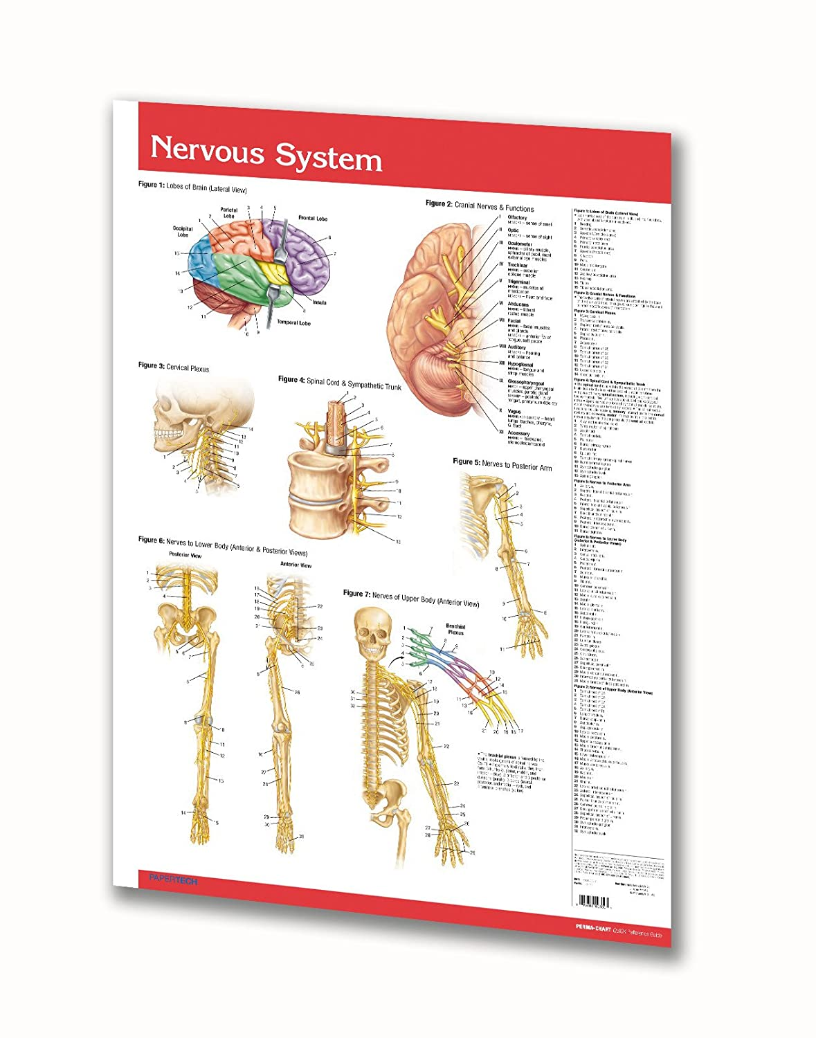 Human Nervous System and Circulatory System Anatomy Wall Poster - 24' x 36' Laminated Poster - Medical Quick Reference Guide Permacharts.com