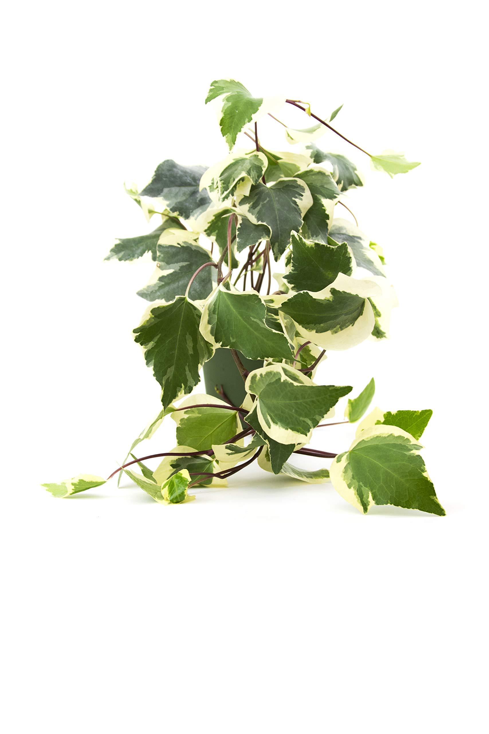 Burpee Hedera algeriensis, Gloire de Marengo Algerian Ivy in 4'' Pot