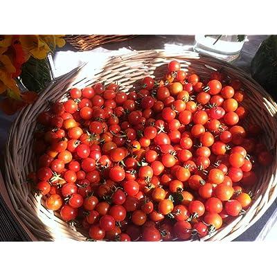 Texas Wild Cherry Tomato Seeds (25 Seeds) : Garden & Outdoor