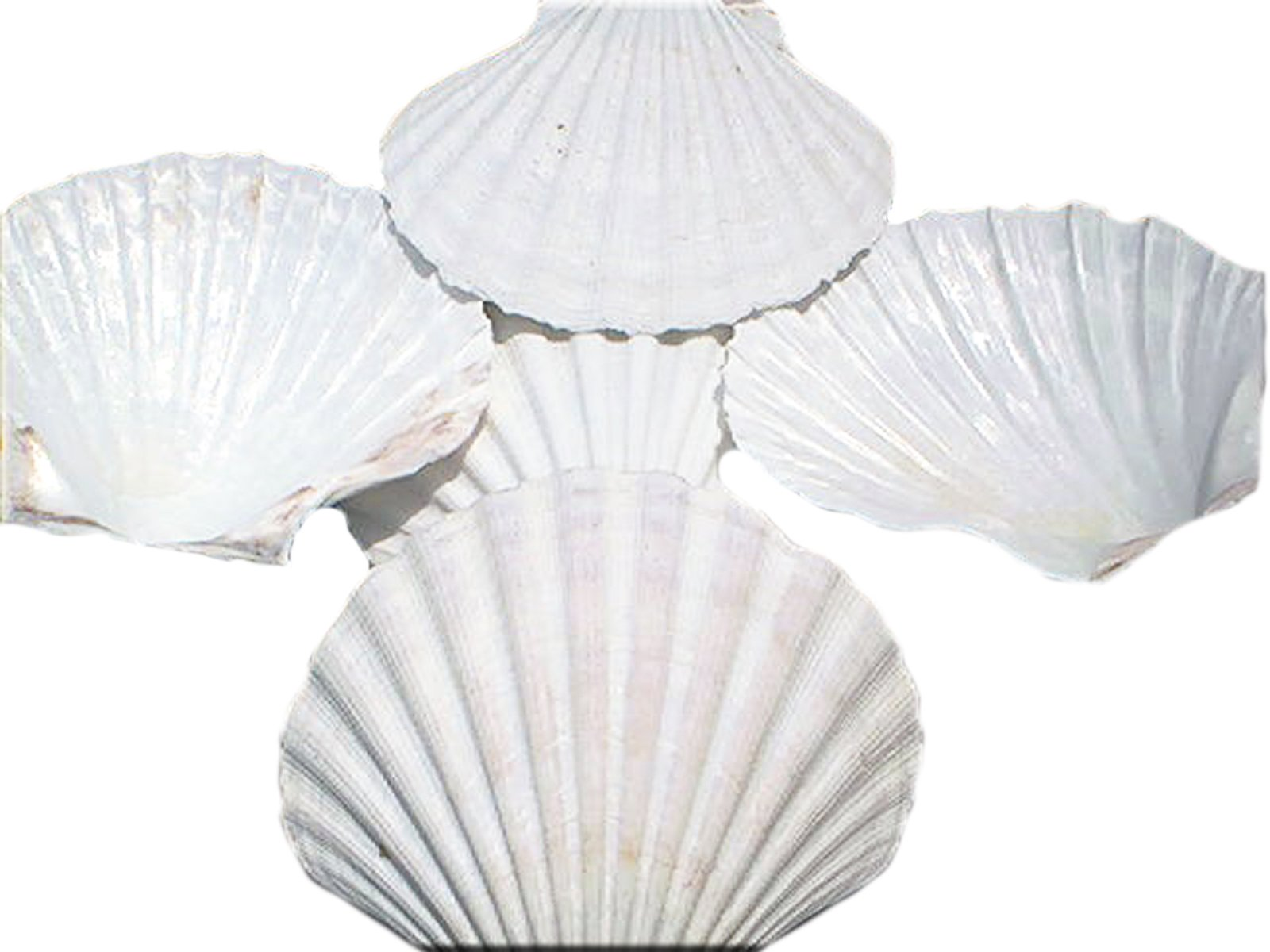 Set of 12 Large White Baking Scallop (3.5''-4'') Restaurant Quality Real Seashells Beach Wedding Coastal Crafts and Decor - Florida Shells and Gifts Inc.