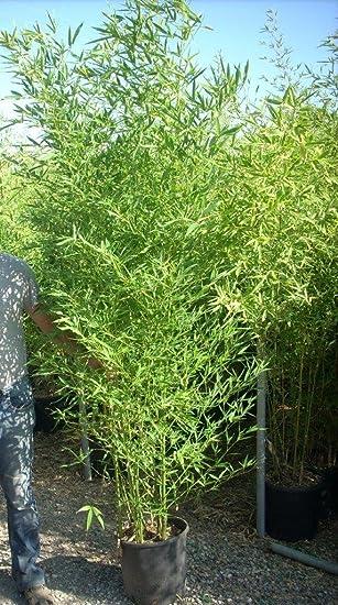 Phyllostachys Aurea - White Garden Bamboo- Large 1.7M tall Plants ...