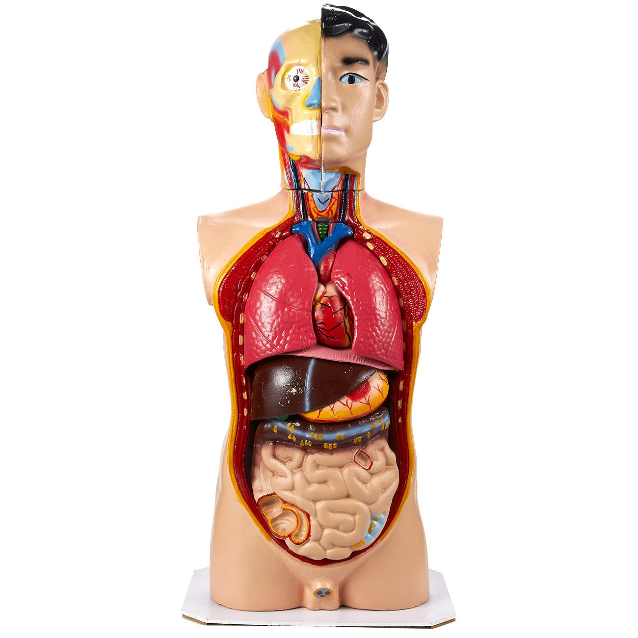 Human Torso Model - 30.5-inch - Anatomical Replica - Perfect Teaching Tool for Biology and Anatomy Classes, 13.7 x 30.5 x 9.7 inches Juvale