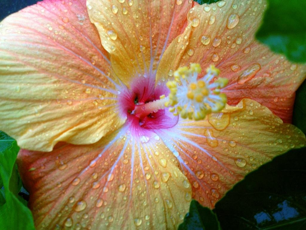 Amazon Paradise Tropical Hibiscus Live Plant Large Fancy