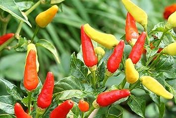 Fantastic Addition to Home Garden!, 50+ Premium Organic Heirloom Seeds 90/% Germination Highest Quality 100/% Pure Big Red Bell Pepper Seeds Islas Garden Seeds Non GMO