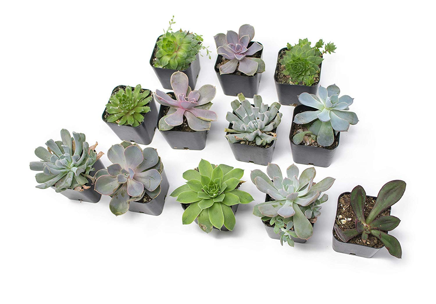 20 Live ''B-Grade'' Succulents | House Plants with Minor Flaws | Healthy Discounted Cheap Succulent Plants in Planter Pots with Soil by Plants for Pets by Plants for Pets (Image #8)