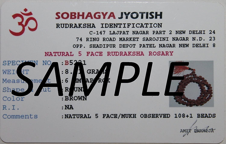 IndianStore4All 2 Mukhi Rudrakaha Nepal Rudrkaha Certified