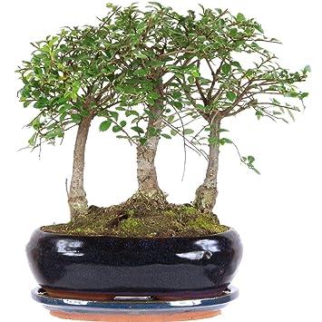 Chinesische Ulme, Bonsai, 9 Jahre, 26cm: Amazon.de: Garten
