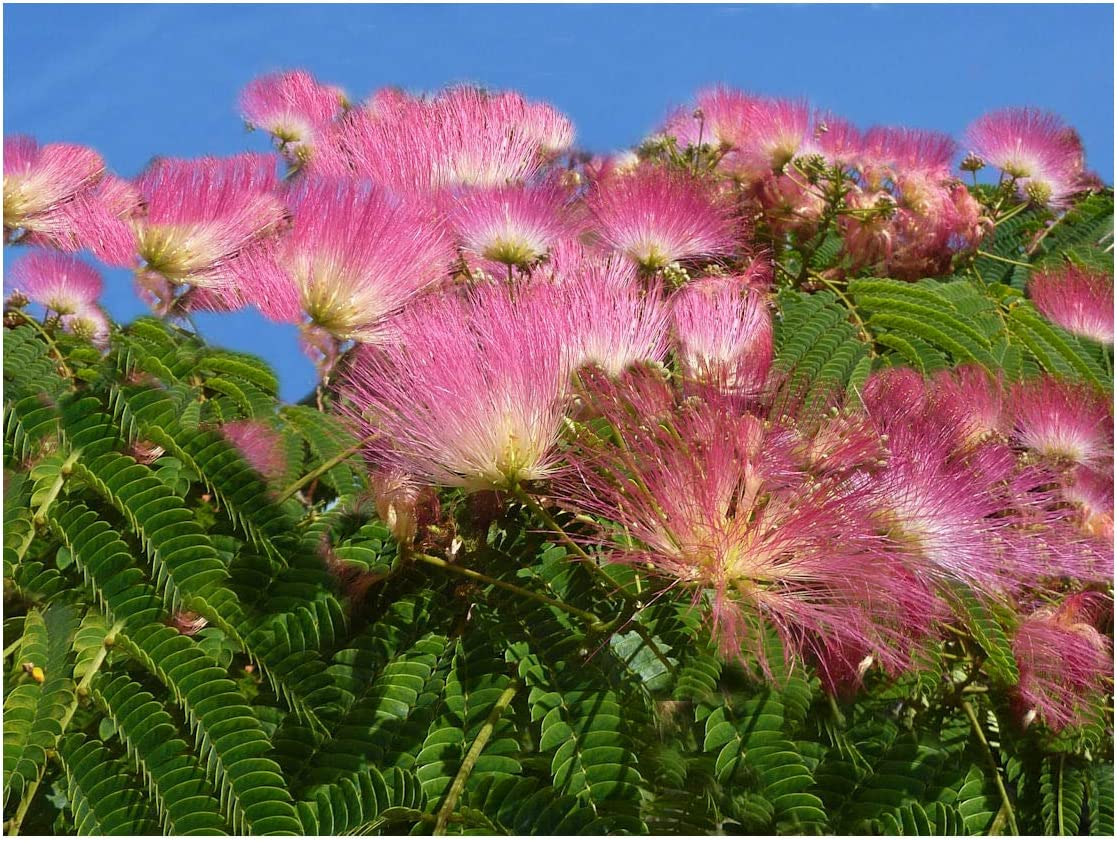 Amazon Com Silk Tree 15 Seeds Albizia Julibrissin Mimosa Fast Growing Profusion Of Pink Puff Flowers Bonsai Zones 6 9 Container Or Standard Garden Outdoor