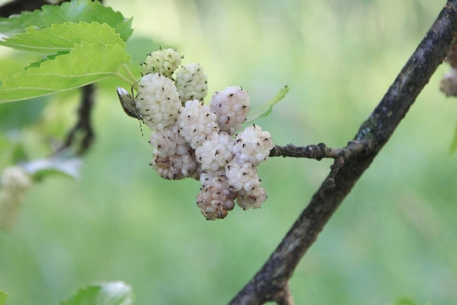 3 Bare Root Plants White Mulberry Tree Edible Berry Fruit Live Healthy 12-18'' Tall V2