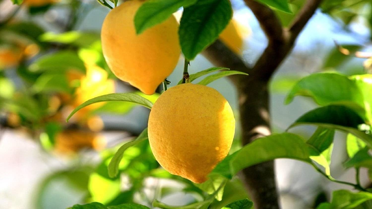 Lemon tree images galleries with a bite for Lemon plant images