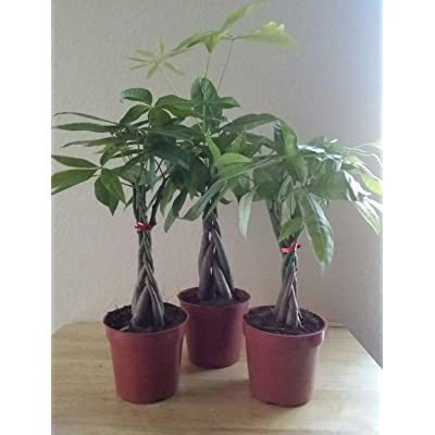 LOUSBONSAINUSERY BRAIDED MONEY TREE : Bonsai Plants : Grocery & Gourmet Food