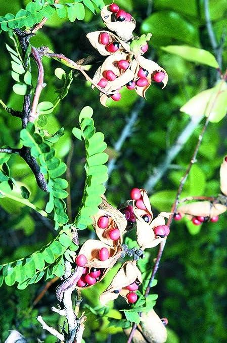 Rookhraj Paudhshala Chirmi Live Plant Abrus Precatorius चरम
