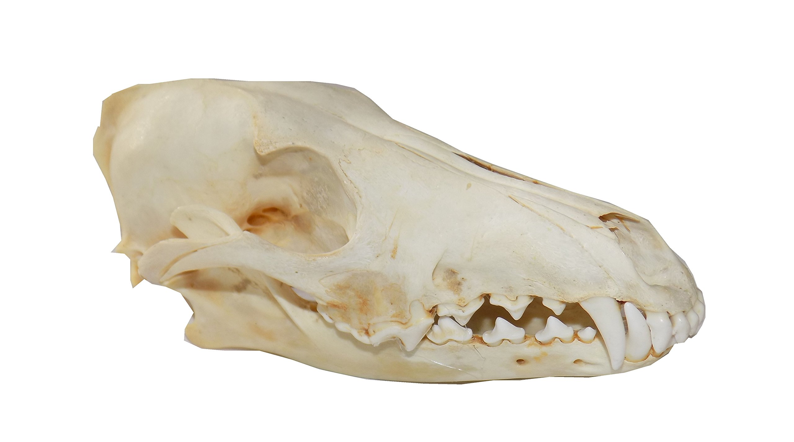 Real Coyote Skull (Cleaned and Assembled Adult American Coyote Skull) by LoneAlaskanGypsy (Image #1)