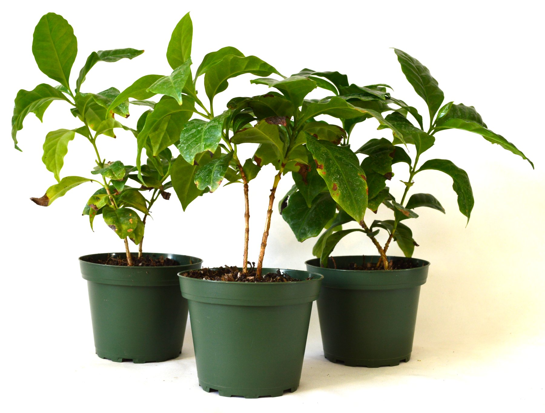 9Greenbox Arabica Coffee Plant Pot Set, 3 Inch x 4 Inch, (Pack of 3)