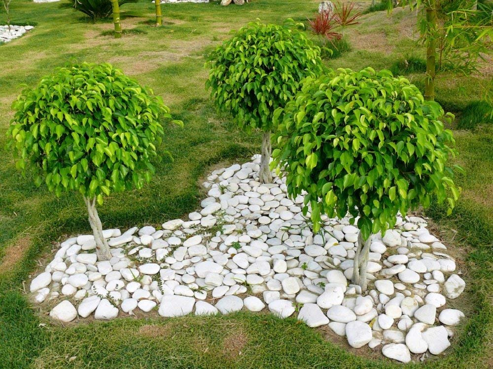 30 FICUS TREE (Bodhi Tree / Sacred Fig / Bo Tree / Pipal) Ficus Religiosa Seeds by Seedville