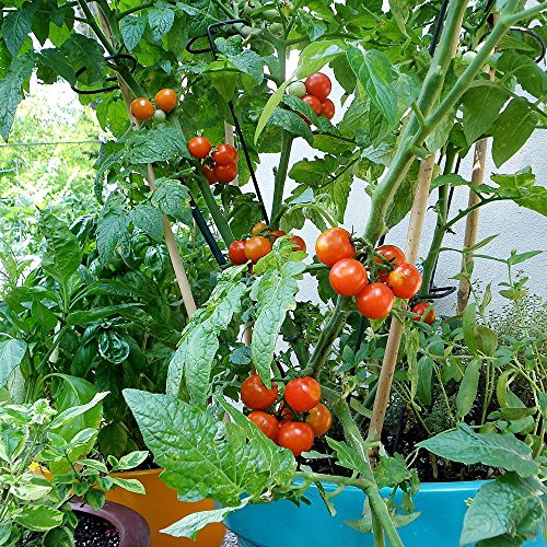 Bonnie Plants Husky Cherry Red Tomato Live Vegetable Plants - 4 Pack | Non-GMO | Bite Sized | Disease Resistant by Bonnie Plants (Image #5)