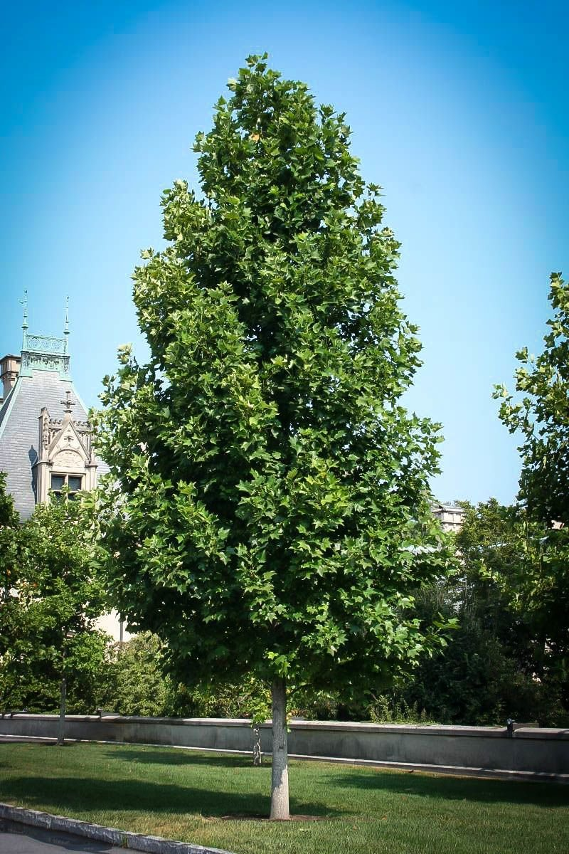 Tulip Poplar Tree – Liriodendron tulipifera - Healthy Established Roots - One Trade Gallon - 1 Plant by Growers Solution