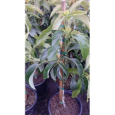 AchmadAnam - Live Plant - Mexicola Avocado Grafted Tree - 2 Feet Tall. E9 : Garden & Outdoor