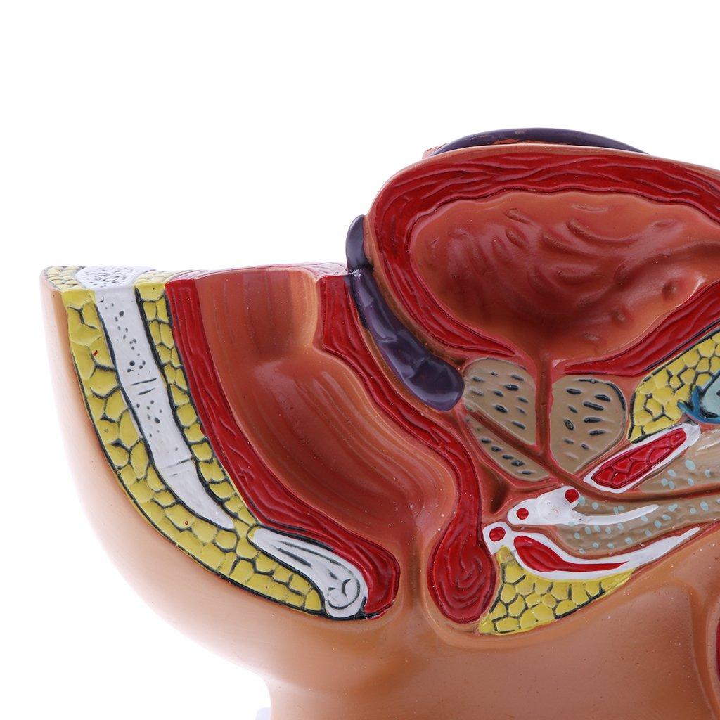 Homyl Anatomisches Lernwerkzeug - 1: 2 Mini Sagittalschnitt von ...
