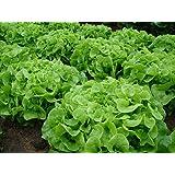 Green Oak Leaf (Oakleaf) Heirloom Lettuce Seeds- 1,000+ Seeds