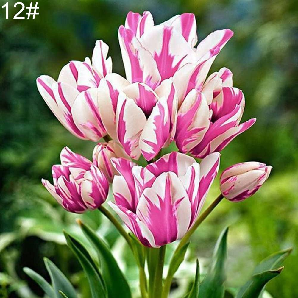 12# Tulip Seed Ukallaite 100Pcs Variety Tulip Seeds Beautiful Flower Home Garden Plant Bonsai Decoration