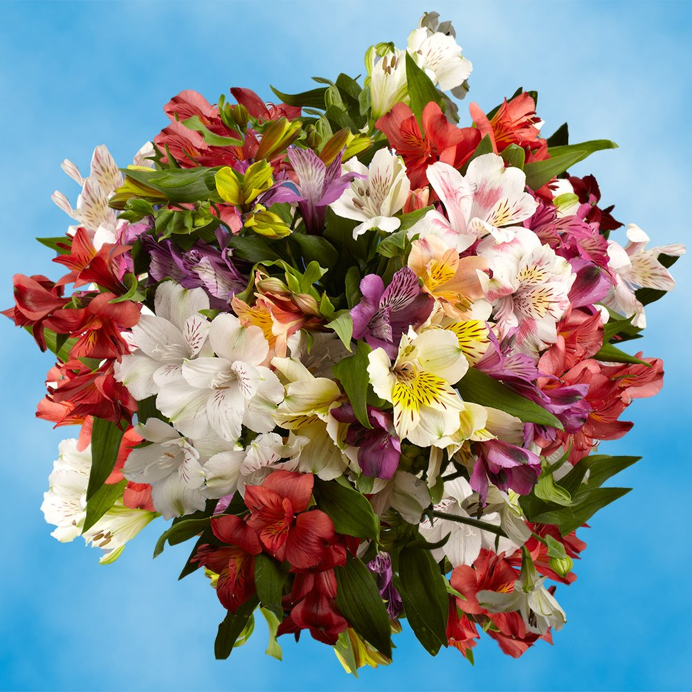 GlobalRose 240 Blooms of Fancy Assorted Color Alstroemerias 60 Stems - Peruvian Lily Fresh Flowers for Delivery by GlobalRose