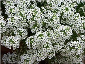 David's Garden Seeds Flower Alyssum Sweet Alyssum SL1932 (White) 500 Non-GMO, Heirloom Seeds